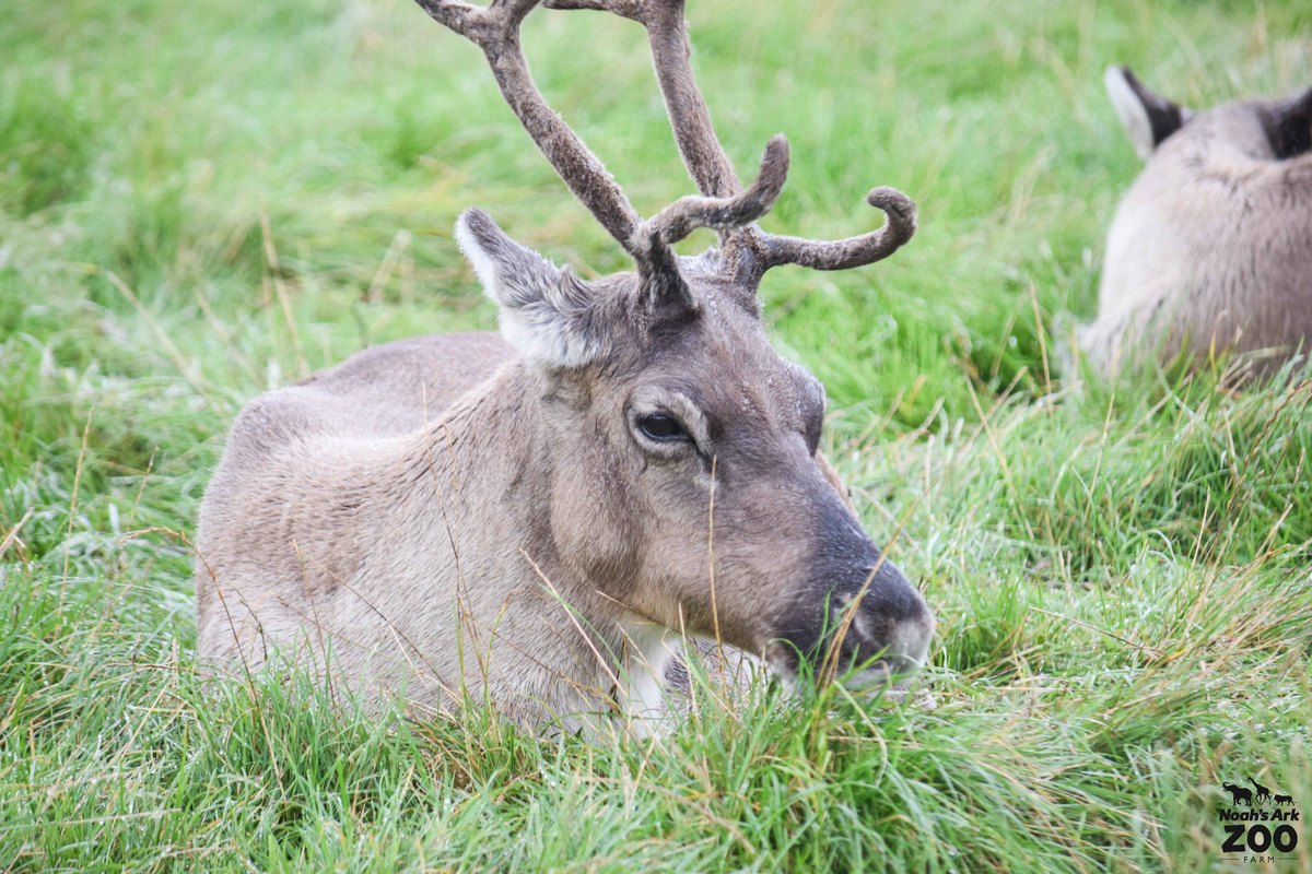 A close up of a brown Reindeer with large antlers lying in a grassy field.