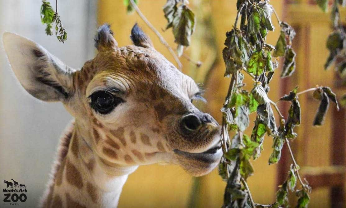 A young male Giraffe enjoys some juicy leaves