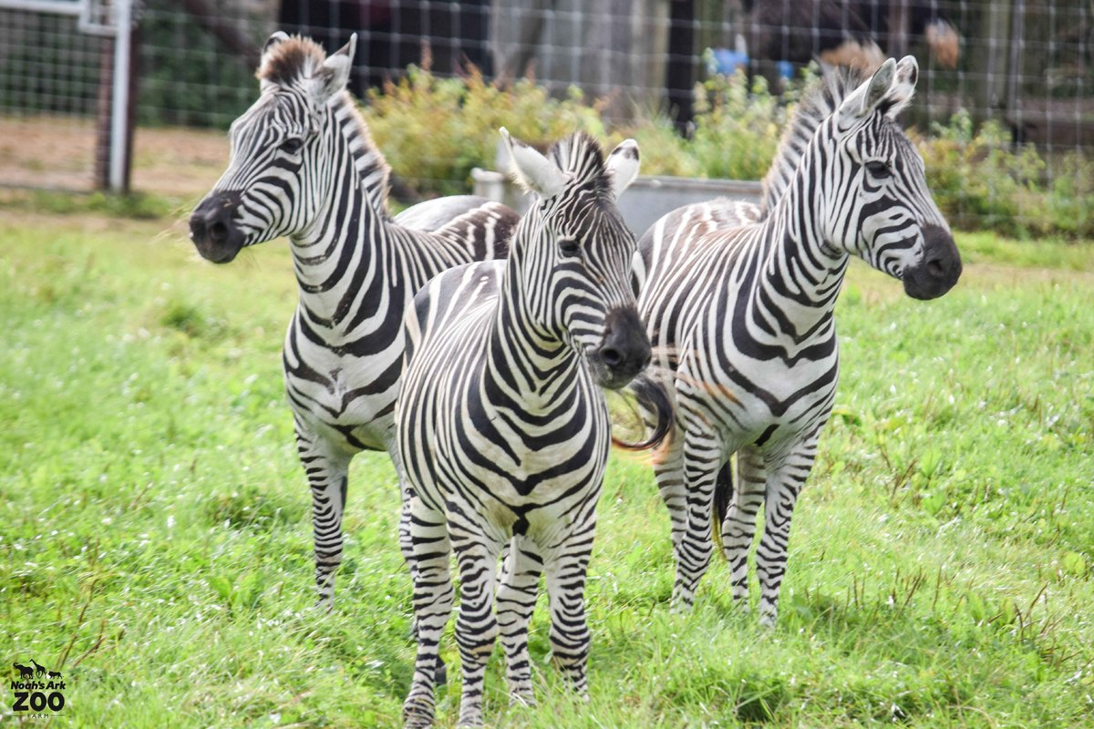 Three Grant's Zebra stand together in a field, the male at the front with two females behind.