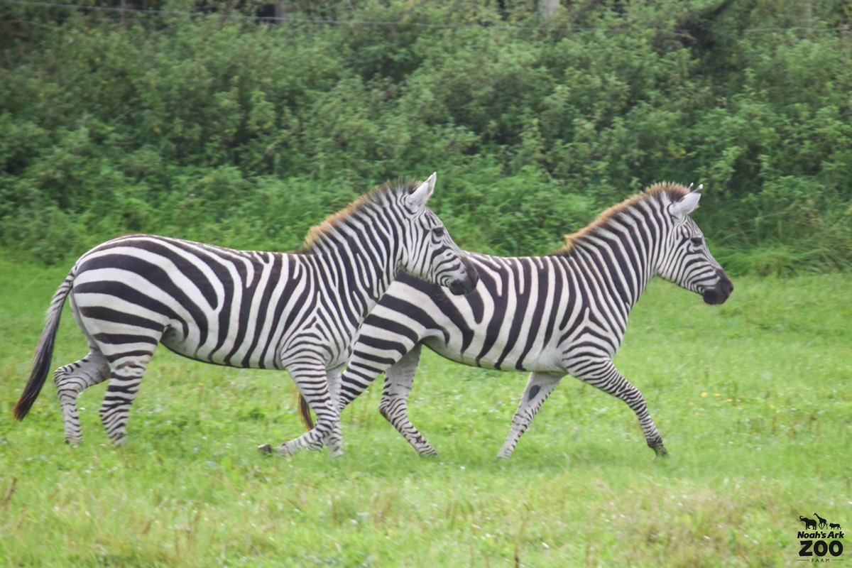 Two female Zebra run alongside each other in a grassy field.