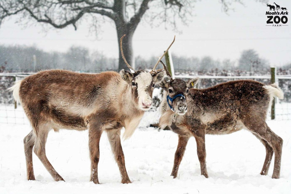 2 Reindeer stand in a white field full of snow