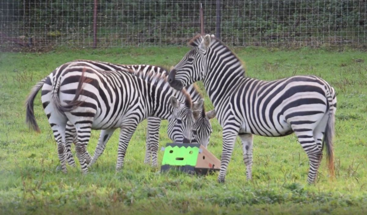 3 Zebras check out a spooky frankinstein box
