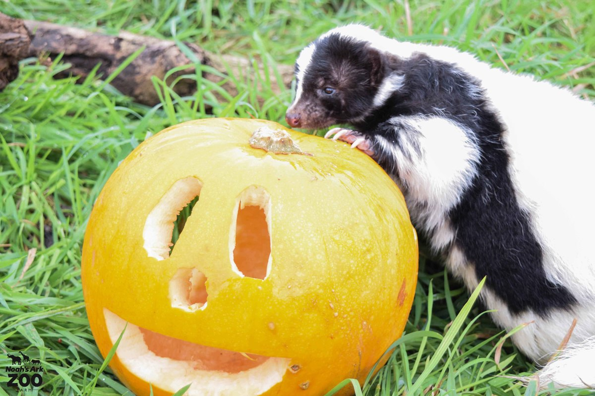 Guiness the skunk investigates an orange pumpkin