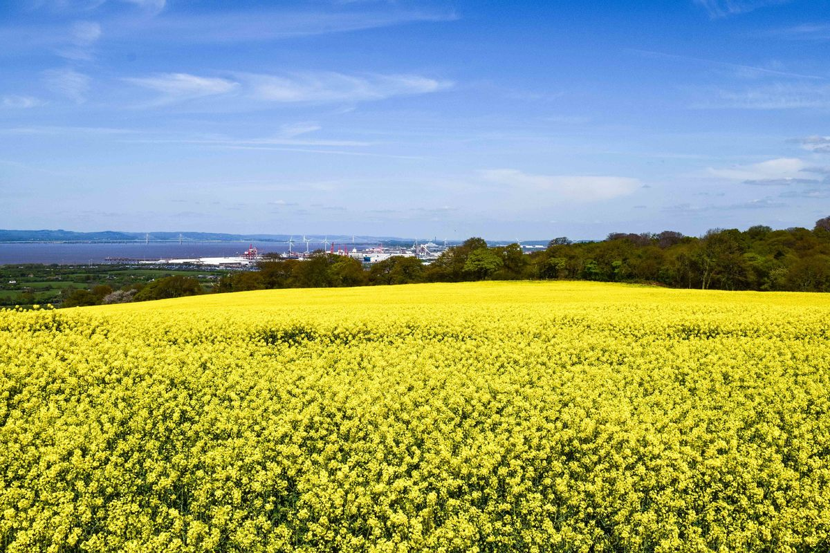 A field of oil seed rape