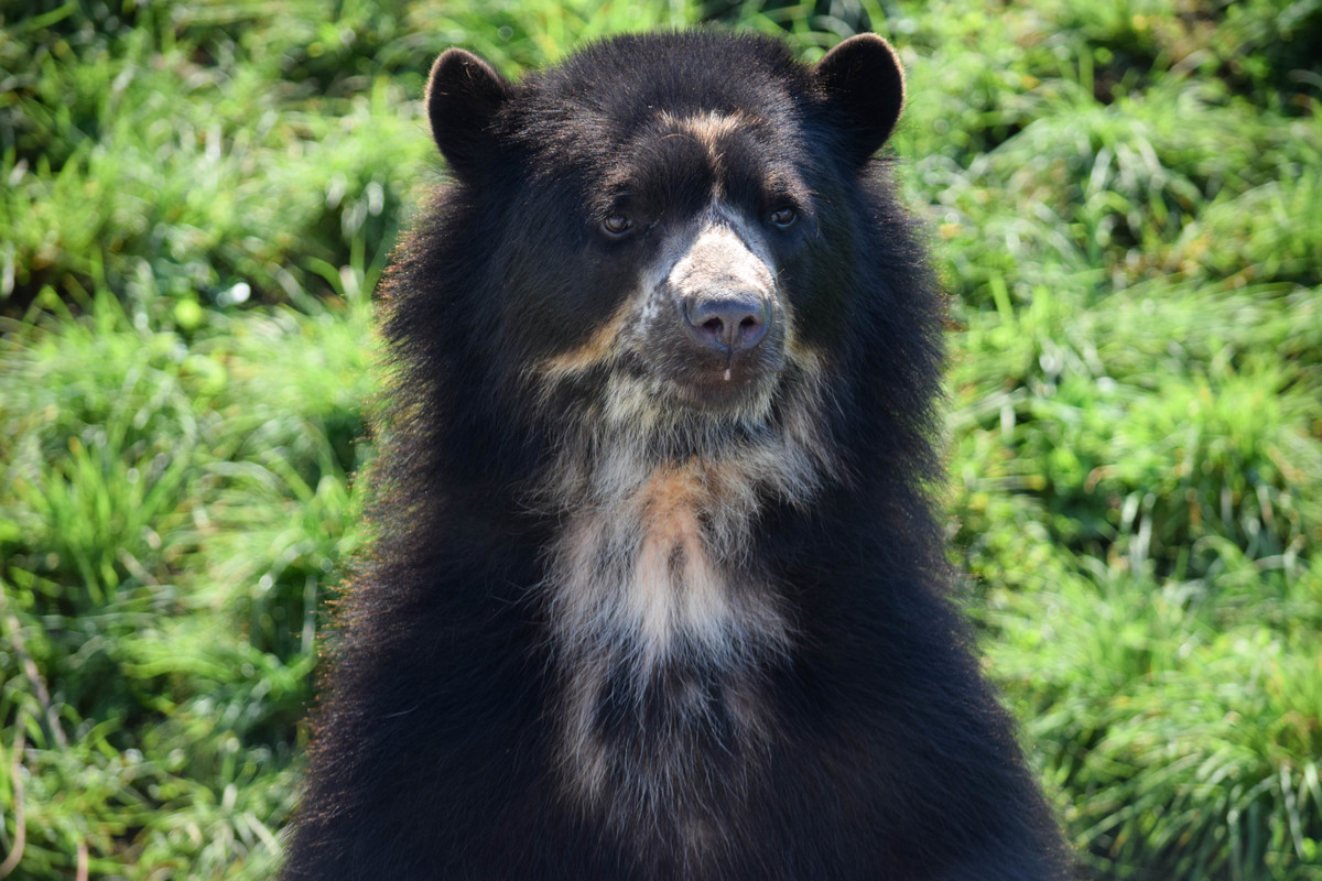 A portrait of a spectacled bear at noah's ark