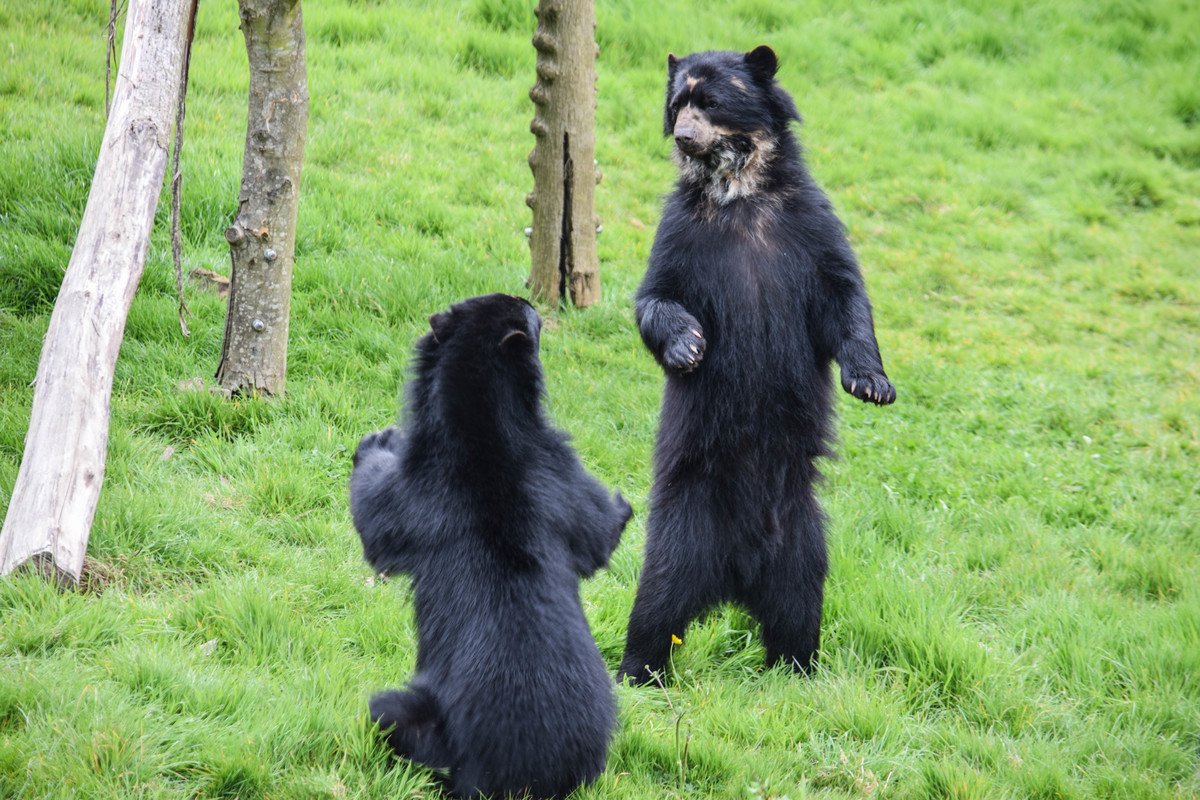 2 spectacled bears playing at noah's ark zoo farm