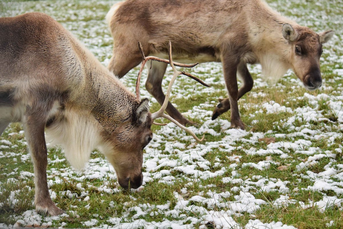 2 Reindeer grazing in the snow at the zoo