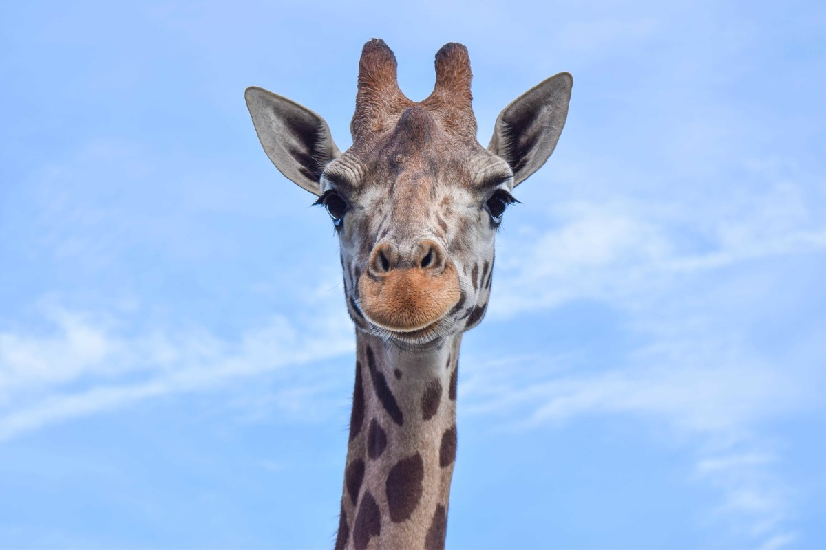 A giraffe stands in front of a blue sky