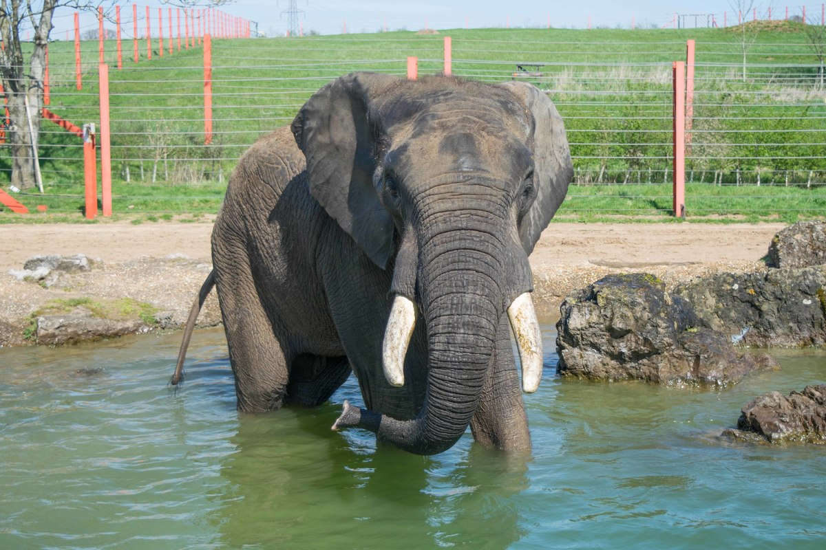 A large bull Elephant stands in a pool of water.