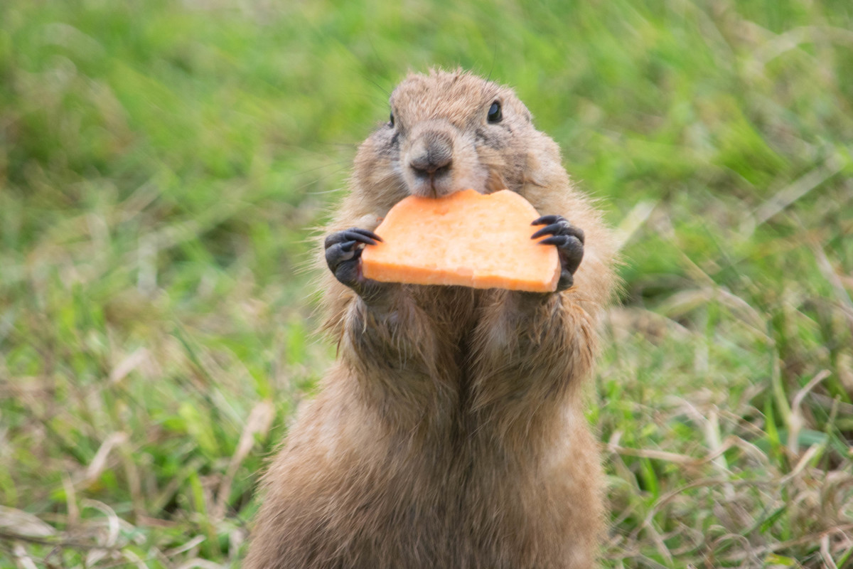 A Prarie Dog enjoying some sweet potato
