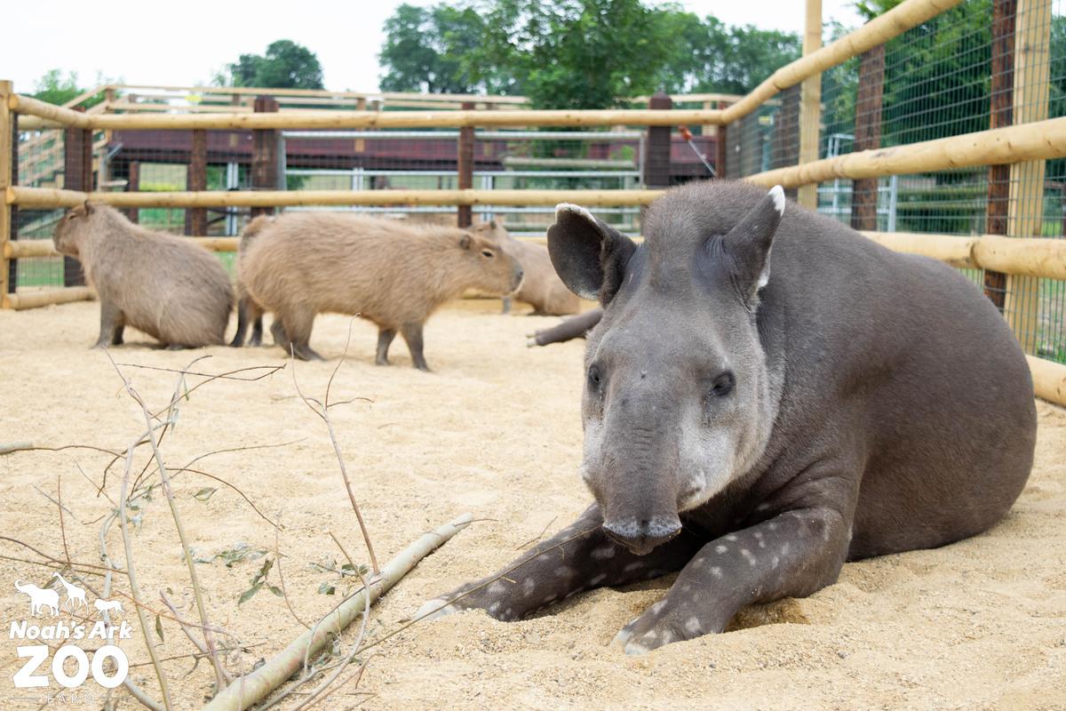 Tapir and Capybara in their new enclosures