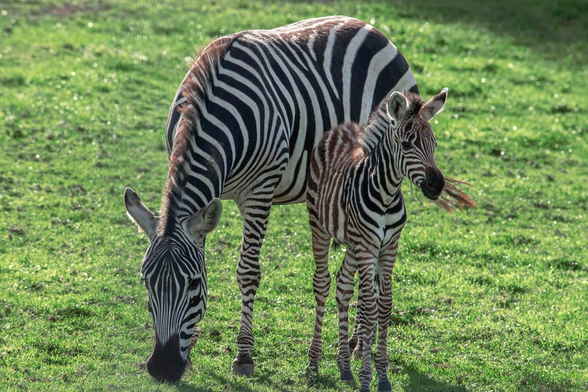 a new born zebra stands with its mother