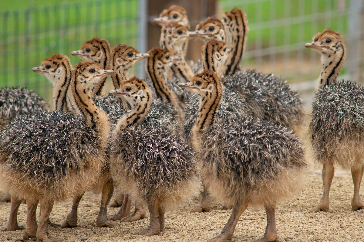 15 baby ostrich chicks at noahs ark zoo farm