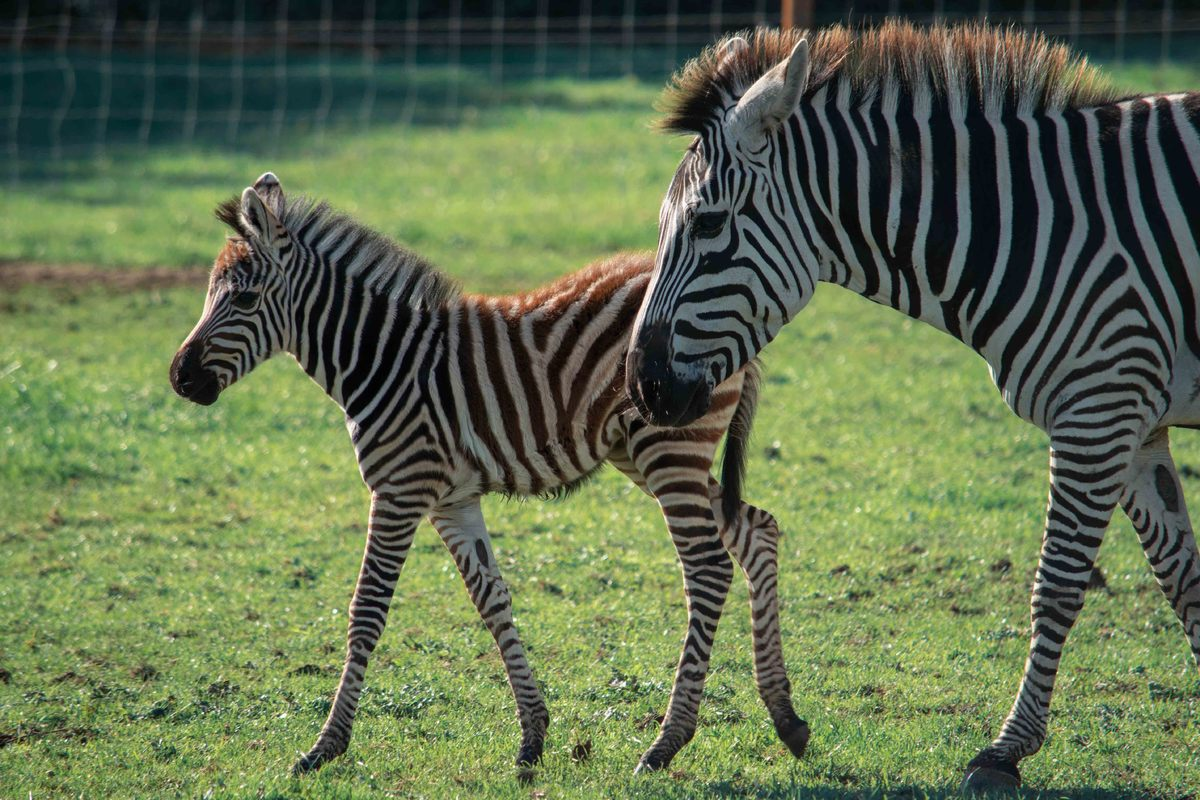 baby zebra and mum walking around a field