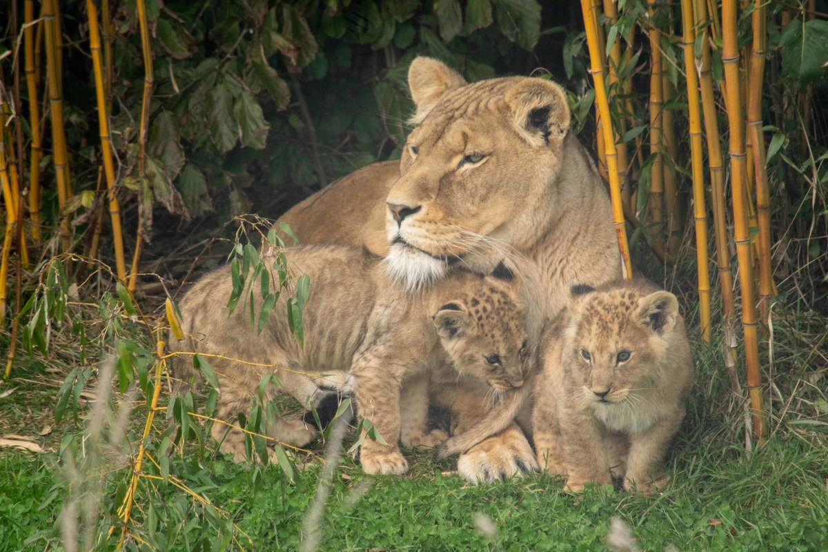 2 little lion cubs cuddle up with mum