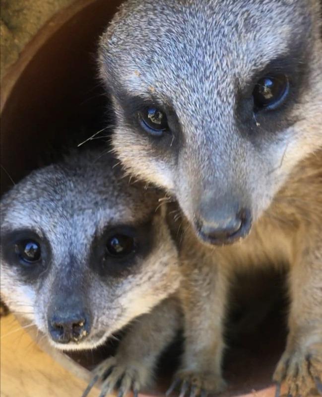 2 Meerkats