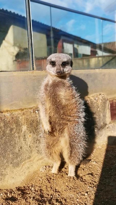 Norbert the meerkat standing