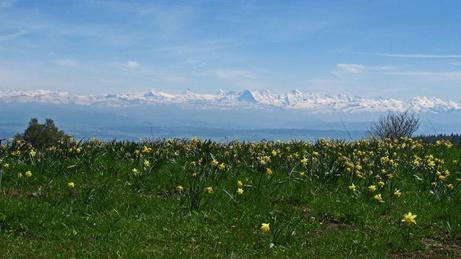 Alpensicht mit Narzissen