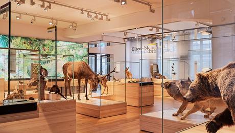 Blick in das Naturmuseum Olten in die Ausstellung «Olten – natürlich vielfältig»