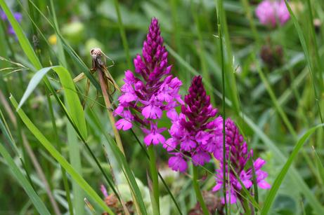Orchideenlehrpfad Erlinsbach