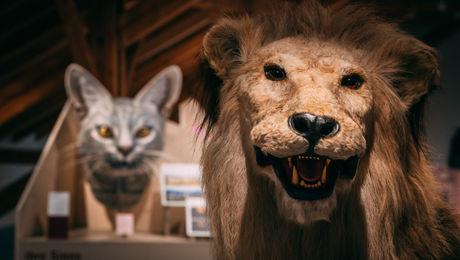 Die Hauskatze gehört wir der Löwe zur Familie der Katzen (Felidae).