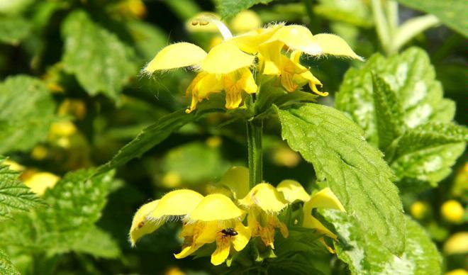 Grüenzüg – essbare Wildpflanzen