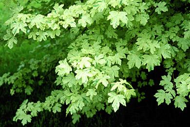 Acer Pubinerve Rightplants