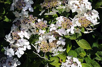 Hydrangea arborescens 'Astrid Lindgren | RightPlants