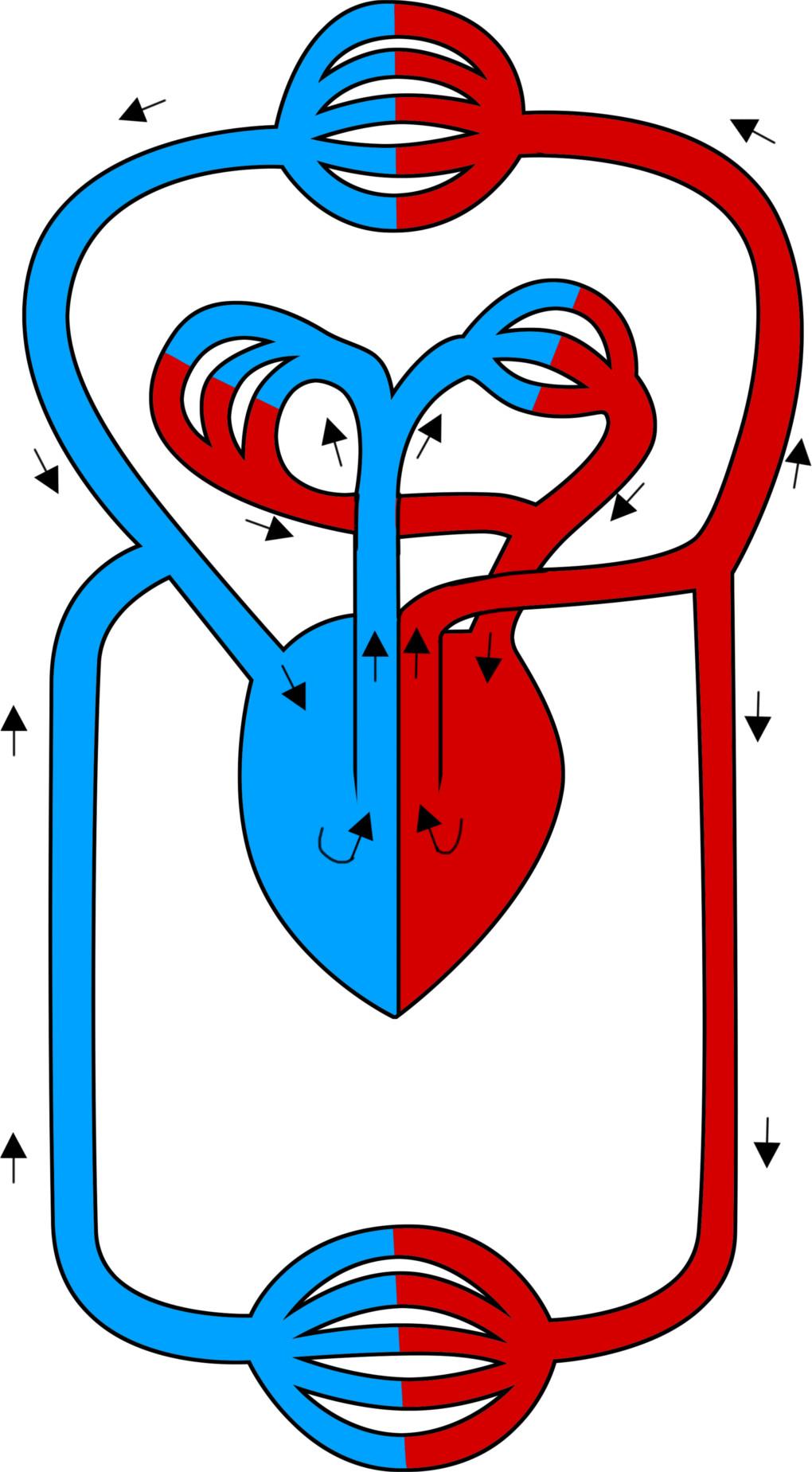Blutkreislauf.jpg