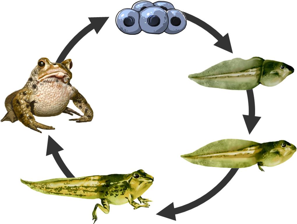 Metamorphose des Frosches.jpg