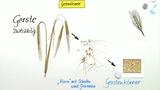Getreidesorten - Gräser für den Menschen