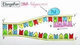 Replikation der DNA (Expertenwissen)