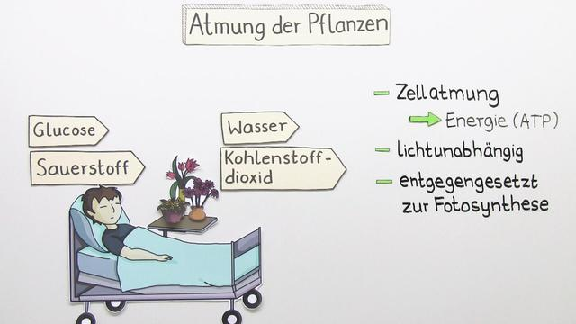 Atmung bei Pflanzen