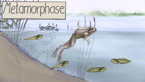 11561 metamorphose   entwicklung von der kaulquappe zum frosch