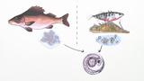 Fische – Fortpflanzung, Brutpflege und Entwicklung