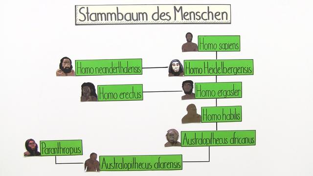 stammbaum des menschen biologie online lernen. Black Bedroom Furniture Sets. Home Design Ideas