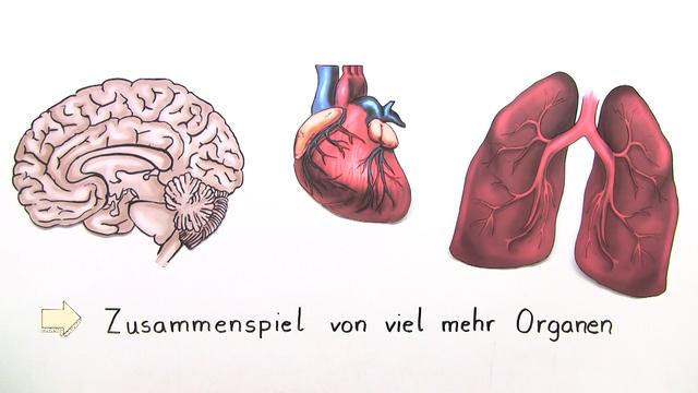 Leber und Niere