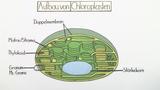 Chloroplasten – Bau und Funktion (Basiswissen)