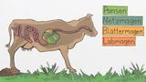 Das Rind - ein Wiederkäuer