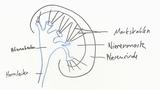 Niere – Bau und Funktion (Basiswissen)