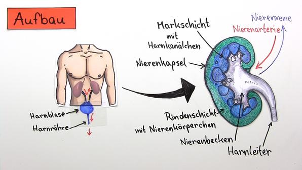 17188 bau und funktion der niere.standbild001