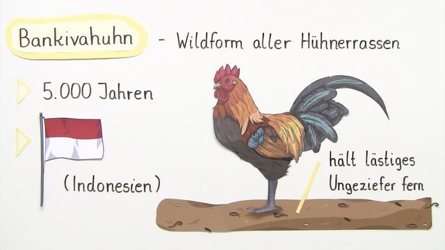 Das Huhn - ein nützlicher Vogel