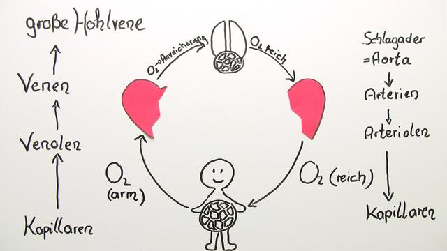 Herz-Kreislauf-System – der Weg des Blutes durch den Körper