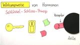 Hormone und ihre Wirkungsweise