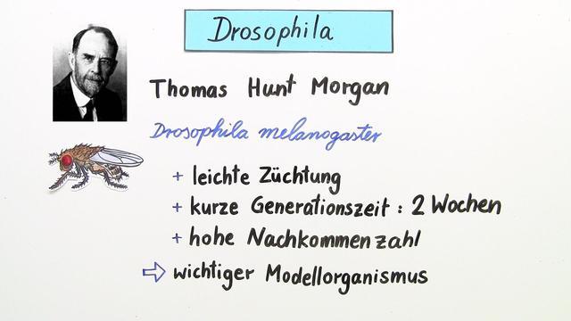 Genkopplung, Rekombination, Genkartierung  – Drosophila als Modellorganismus