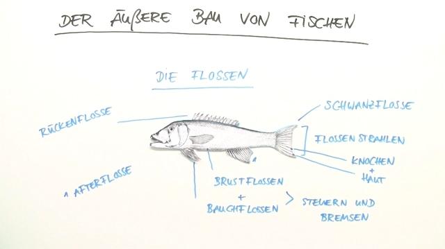 Arbeitsblatt Fische Klasse 6 : Fische äußerer bau biologie online lernen