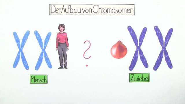Chromosomen – Bau und Funktion