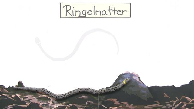 Schlangen – Ringelnatter und Kreuzotter