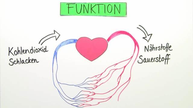 Herz –  Bau und Funktion