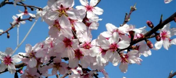 Festa de l'ametller florit